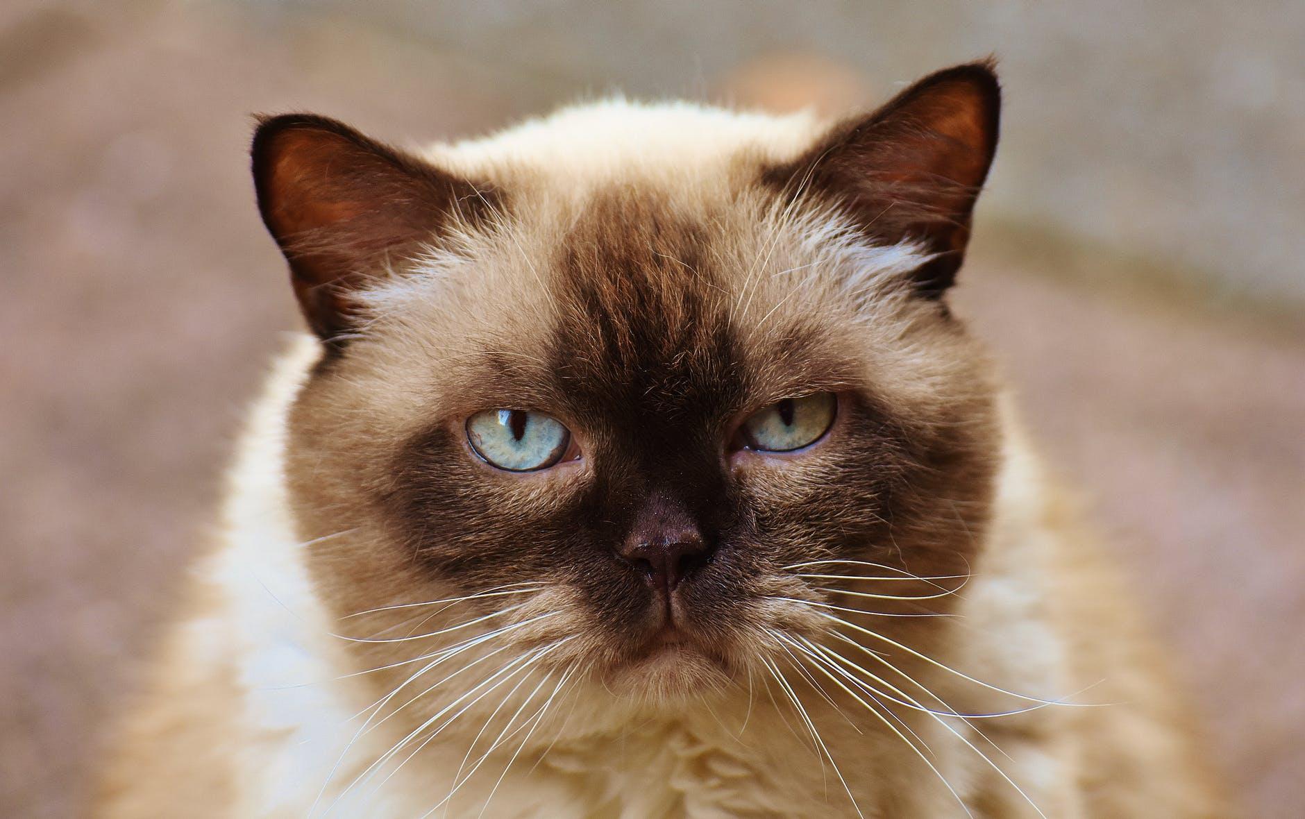 cat-british-shorthair-mieze-blue-eye-162174.jpeg