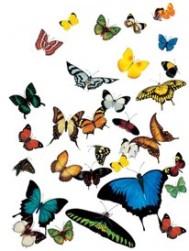 Muri Butterflies